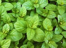 绿色新健康薄荷叶自然本底样式 免版税库存照片