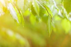 绿色新叶子背景在好日子 免版税图库摄影