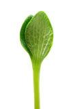 绿色新芽 库存图片