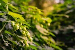 绿色新鲜的生长在草药的一个蛇麻草围场的蛇麻草花和叶子 干绿色成熟啤酒花球果树特写镜头  免版税库存图片