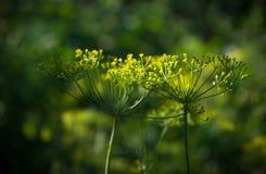 绿色新鲜的芬芳莳萝 图库摄影