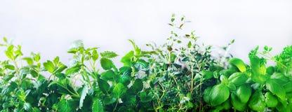 绿色新鲜的芳香草本-蜜蜂花,薄菏,麝香草,蓬蒿,在白色背景的荷兰芹 横幅从植物的拼贴画框架 免版税图库摄影