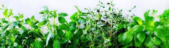 绿色新鲜的芳香草本-蜜蜂花,薄菏,麝香草,蓬蒿,在白色背景的荷兰芹 横幅从植物的拼贴画框架 库存照片