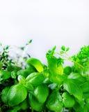 绿色新鲜的芳香草本-蜜蜂花,薄菏,麝香草,蓬蒿,在白色背景的荷兰芹 横幅从植物的拼贴画框架 免版税库存照片