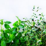 绿色新鲜的芳香草本-蜜蜂花,薄菏,麝香草,蓬蒿,在白色背景的荷兰芹 横幅从植物的拼贴画框架 图库摄影
