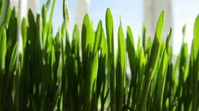 绿色新鲜的草在春天 免版税库存照片