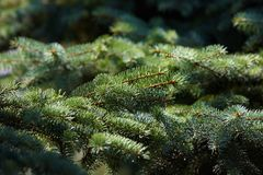 绿色新鲜的针在阳光下 免版税库存照片