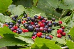 绿色无核小葡萄干叶子、草莓红色成熟莓果和草莓 一个无核小葡萄干的黑暗紫罗兰色莓果在一块白色板材的在 免版税库存图片