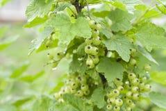 绿色无核小葡萄干 库存照片