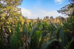 绿色日本棕榈树(Nypa fruticans)森林有蓝天背景 免版税库存图片