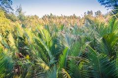 绿色日本棕榈树(Nypa fruticans)森林有蓝天背景 库存照片