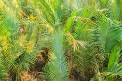 绿色日本棕榈树(Nypa fruticans)森林有蓝天背景 免版税库存照片