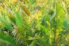 绿色日本棕榈树(Nypa fruticans)森林有蓝天背景 免版税图库摄影
