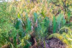 绿色日本棕榈树(Nypa fruticans)森林有蓝天背景 库存图片