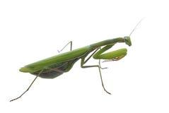 绿色昆虫螳螂祈祷 免版税库存图片