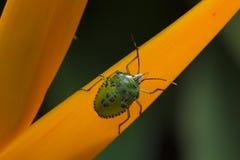 绿色昆虫 库存图片