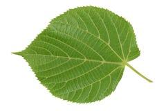 绿色春天叶子的反面是椴树 免版税库存照片