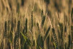 绿色晴朗的麦子 免版税图库摄影