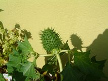 绿色曼陀罗在庭院里 免版税库存图片