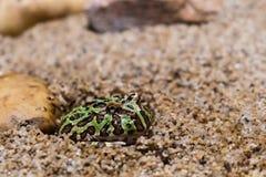 绿色有角的青蛙伪装通过开掘入沙子 库存图片