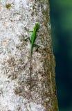 绿色有顶饰蜥蜴, Bronchocela cristatella 库存照片