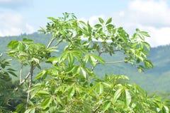 绿色木棉树木棉树上面  图库摄影
