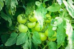 绿色未成熟的蕃茄在床上增长 免版税库存照片