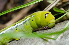 绿色本质蠕虫 免版税库存图片