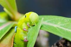 绿色本质蠕虫 免版税库存照片