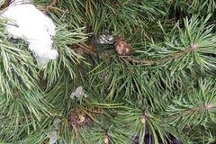 绿色杉木一棵年轻树在公园,关闭,分支棕色锥体雪 库存图片