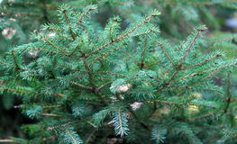 绿色杉木分支背景,软的焦点 云杉纹理与针的 针叶树特写镜头 免版税图库摄影