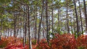 绿色杉木森林和红色落叶树 股票视频