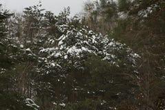 绿色杉木森林在冬天 库存图片