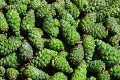 绿色杉木锥体背景 锥体用于草药 免版税库存图片