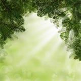 绿色杉树枝杈和抽象背景 库存图片
