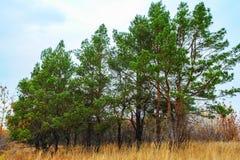 绿色杉树 图库摄影