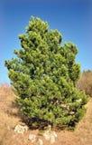 绿色杉树 库存图片