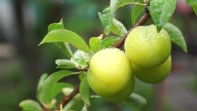 绿色李子未成熟的果子在雨以后的 影视素材