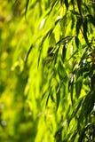 绿色杨柳离开背景 图库摄影