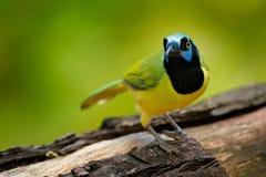绿色杰伊, Cyanocorax yncas,狂放的自然,伯利兹 从中央Anemerica的美丽的鸟 鸟的监视人在伯利兹 杰伊坐Th 免版税库存图片