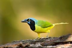 绿色杰伊, Cyanocorax yncas,狂放的自然,伯利兹 从中央Anemerica的美丽的鸟 鸟的监视人在伯利兹 杰伊坐Th 免版税库存照片