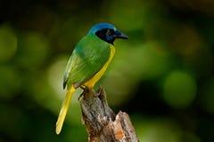 绿色杰伊, Cyanocorax yncas,狂放的自然,伯利兹 从南美的美丽的鸟 鸟的监视人在厄瓜多尔 黄色鸟杰伊坐 库存图片