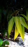 绿色果树叶子 库存图片