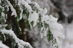 绿色枝杈和雪 免版税库存照片