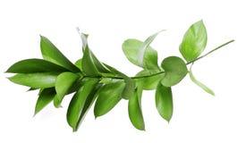 绿色枝杈 免版税库存图片