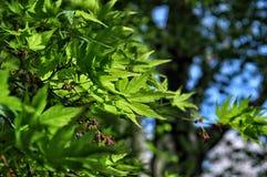 绿色枫叶在日本 免版税库存图片
