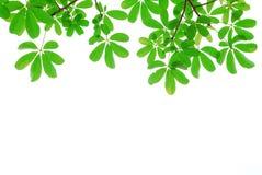 绿色查出的叶子本质 免版税库存图片