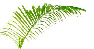 绿色查出的叶子棕榈树 免版税图库摄影