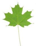 绿色查出的叶子槭树 免版税库存图片