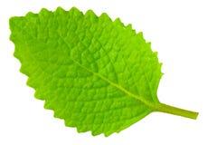 绿色查出的叶子牛至白色 库存照片
